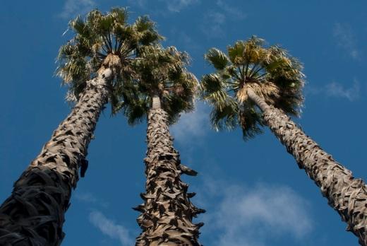 Three tall palm trees